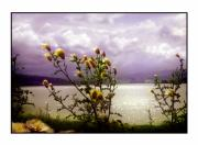Thistles Photos - Thistledown Time by Mal Bray