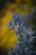 Thistle Photos - Thistles Motion by Mike Reid