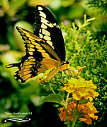 Papilio Thoas Framed Prints - Thoas Swallowtail #1 Framed Print by Rebecca Morgan