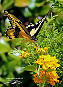 Papilio Thoas Framed Prints - Thoas Swallowtail #2 Framed Print by Rebecca Morgan