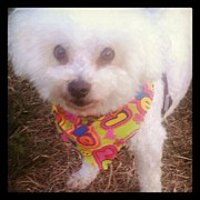 Likeaboss Art - Thomas My #bichon #dog In A #colorful by Lunesta Walker