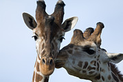 Groom Framed Prints - Thompsons Giraffe Giraffa Camelopardalis Framed Print by Joel Sartore