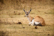 Tanzania Art - Thomsons Gazelle by Adam Romanowicz