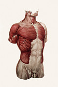 N.h. Prints - Thoracic And Abdominal Muscle Print by Mehau Kulyk