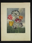 Valuable Framed Prints - Thornton - Tulips Framed Print by Pat Kempton
