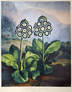 Primula Auricula Photos - Thornton: Auriculas by Granger