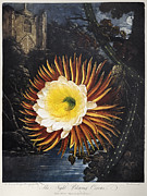 Queen Of The Night Acrylic Prints - Thornton: Cereus Acrylic Print by Granger