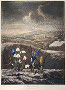 1801 Prints - Thornton: Crocusi Print by Granger