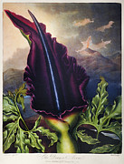 1801 Posters - Thornton: Dragon Arum Poster by Granger