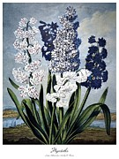 Edwards Framed Prints - Thornton: Hyacinths Framed Print by Granger