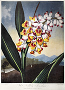 1801 Prints - Thornton: Shell Ginger Print by Granger