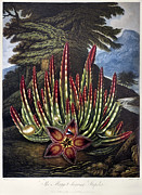 1801 Prints - Thornton: Stapelia Print by Granger