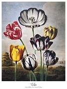 1798 Prints - Thornton: Tulips Print by Granger