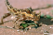 Shark Bay Prints - Thorny Devil Lizard Print by Georgette Douwma