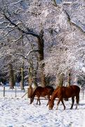 Grazing Horse Posters - Thoroughbred Horses, Mares In Snow Poster by The Irish Image Collection