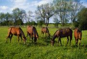 Group Of Horses Prints - Thoroughbred Horses, Yearlings, Ireland Print by The Irish Image Collection