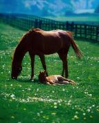 Grazing Horse Posters - Thoroughbred Mare And Foal, Ireland Poster by The Irish Image Collection