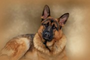 Alsatian Framed Prints - Those Eyes Framed Print by Sandy Keeton