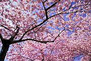 Cherry Blossoms Photo Prints - Thoughts Print by Mitch Cat