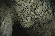Mammals Prints - Thousands Of Wrinkled-lipped Bats Print by Tim Laman