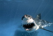 Bravery Photo Prints - Threatened Great White Shark, Toothy Print by Paul Sutherland