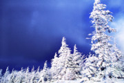 Snow Covered Pine Trees Prints - Threatening Winter Sky  Print by Thomas R Fletcher