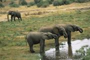 Tarangire Prints - Three African Elephants Loxodonta Print by Roy Toft