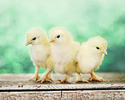 Baby Chickens Acrylic Prints - Three Amigos Acrylic Print by Amy Tyler