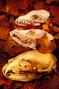 Leaves Glass Art Prints - Three Animal Skulls Print by Garry Gay