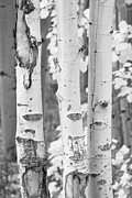 Rocky Mountains Framed Prints Prints - Three Aspens In Black and White  Print by James Bo Insogna