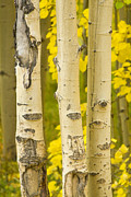 Gold Stock Framed Prints - Three Autumn Aspens Framed Print by James Bo Insogna