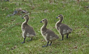 Walking Birds Originals - Three Baby Geese by Ruth H Curtis