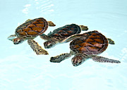 Turtle Shell Framed Prints - Three Baby Green Turtles In Nursery Framed Print by Karen Doody