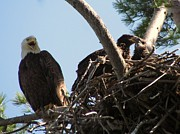 American Eagle Photos - Three Bald Eagles in the Nest by Mitch Spillane