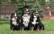 Three Bernese Mountain Dog Portrait Print by Waldek Dabrowski