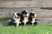 Three Bernese Mountain Dog Puppies Portrait Print by Waldek Dabrowski