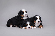 Berner Photos - Three Bernese Mountain Dog puppy portrait by Waldek Dabrowski
