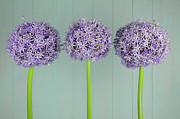 Flower Order Posters - Three Big Purple Ornamental Onion Flowers Poster by Cora Niele