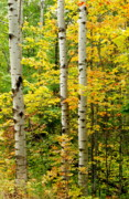 Michigan Fall Colors Posters - Three Birch Poster by Michael Peychich