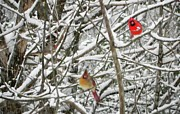 Cardinals. Wildlife. Nature. Photography Photos - Three Birds by Jennifer Wosmansky