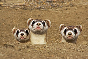 Ferret Framed Prints - Three Black-footed Ferrets In Burrow Framed Print by Wendy Shattil and Bob Rozinski