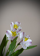 Alstroemeria Posters - Three Blooms Poster by Loree Johnson
