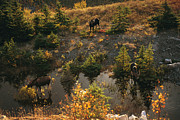 Alces Alces Posters - Three Bull Moose Alces Alces Feed Poster by Raymond Gehman