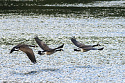 Flying Geese Prints - Three Canada Geese Print by Sharon  Talson