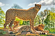 Cheetah Framed Prints - Three Cheetahs Framed Print by Chris Thaxter
