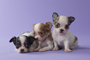 Chihuahua Framed Prints - Three Chihuahua Puppies Framed Print by Mixa