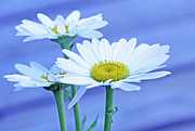 Becky Prints - Three daisies Print by Becky Lodes