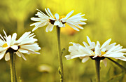 Field Of Flowers Prints - Three Daisies Print by Julie Palencia