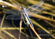 Dragonflies Metal Prints - Three Dragonflies on One Reed Metal Print by Carol Groenen
