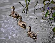 Julie Palencia - Three Ducks